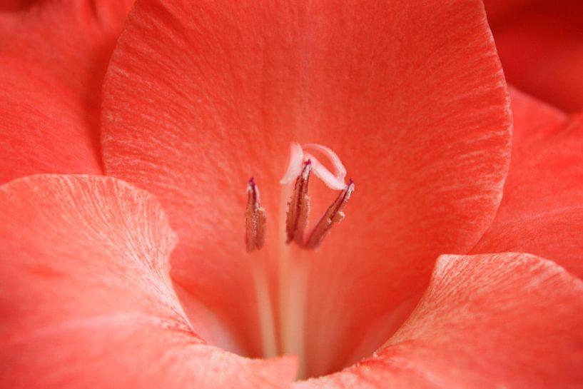 Red gladiolus sur Anneke Verweij