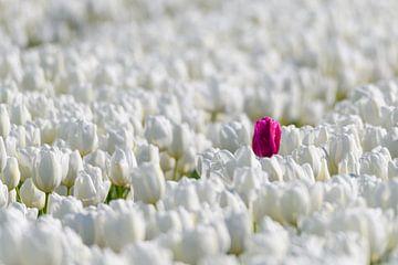 Eine farbige Tulpe, die heraus von der Menge der weißen Tulpen von Sjoerd van der Wal