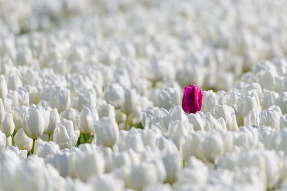 Een gekleurde tulp in een veld van witte tulpen in bloei