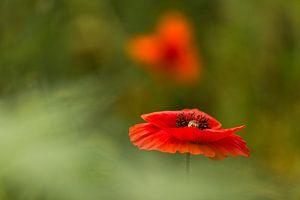 klaproos, poppy, Terheijden, Noord-Brabant, Holland, Nederland, afbeelding klaproos