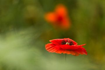 klaproos, poppy, Terheijden, Noord-Brabant, Holland, Nederland, afbeelding klaproos van