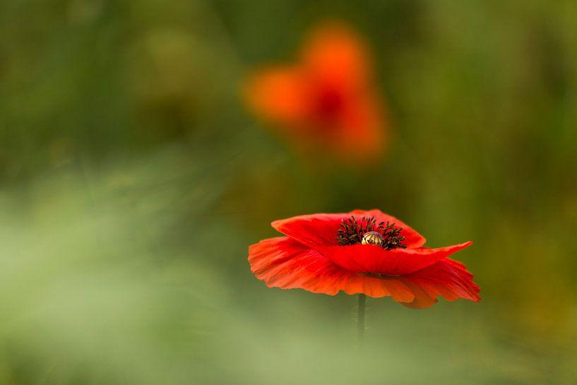 klaproos, poppy, Terheijden, Noord-Brabant, Holland, Nederland, afbeelding klaproos van Ad Huijben