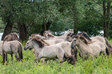 Herde von Konik-Pferden von Diantha Risiglione