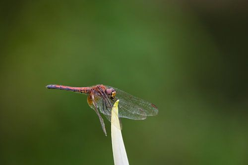 Rode Libelle
