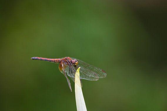 Rode Libelle van Thijs van den Broek