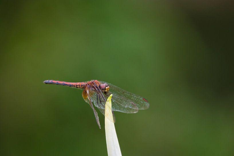 Rote Libelle von Thijs van den Broek