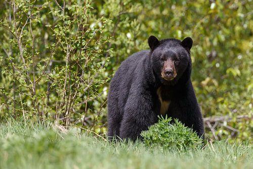 Grote Zwarte beer
