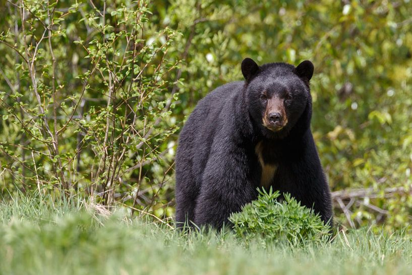 Grote Zwarte beer van Menno Schaefer