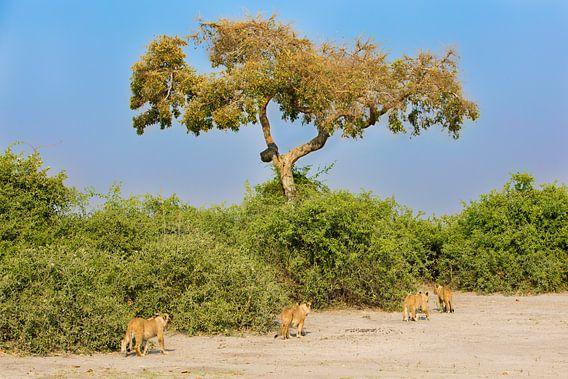 Afrikaanse Leeuwen parade  van Dexter Reijsmeijer