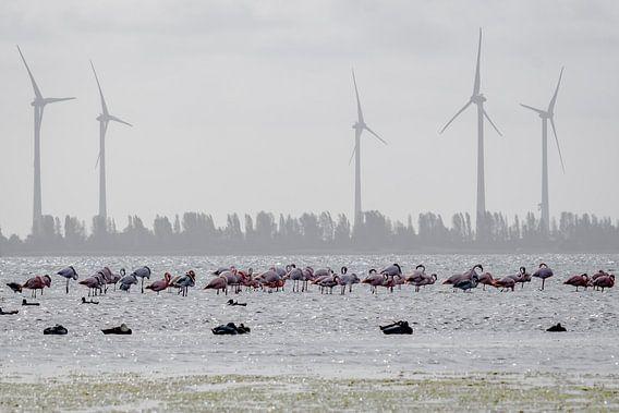 Flamingo's in Nederland (Zeeland) van Danny de Jong