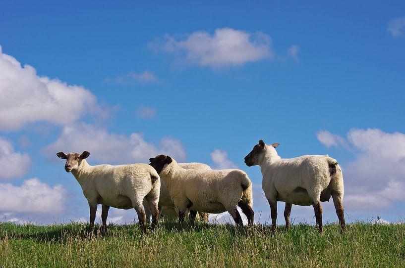 Die Schafe von Angela Dölling