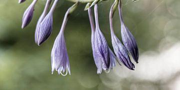 Blume XII - Funkie sur Michael Schulz-Dostal