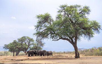 Olifanten onder acacia van Leo van Maanen