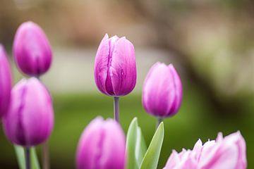 Violett-rosa Tulpen in Blüte von Simone Janssen