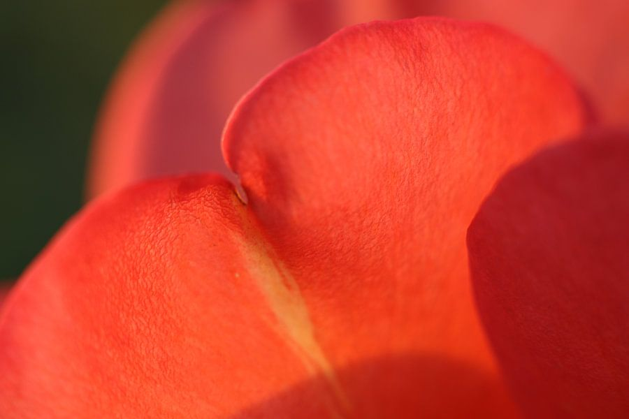 Schaduwspel van de zon op rozenblaadjes van Geert Naessens
