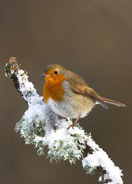 Roodborst in the sneeuw. van Beschermingswerk voor aan uw muur