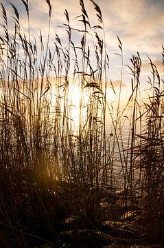 Rietkraag IJsselmeer von Erik van Riessen