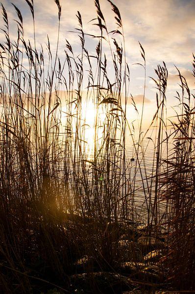 Rietkraag IJsselmeer van Erik van Riessen