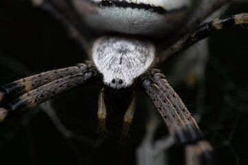 Wespenspinne von Kurt Hohenbichler