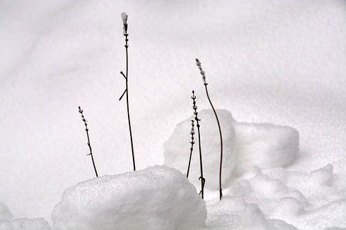 Lavendeltakken in de sneeuw