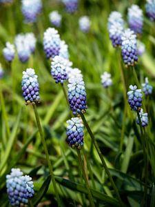 Blauwe druifjes van Martijn Tilroe