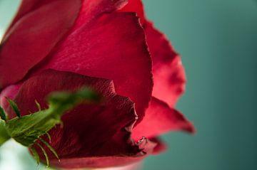 Valentijnsroos von Lieke Roodbol