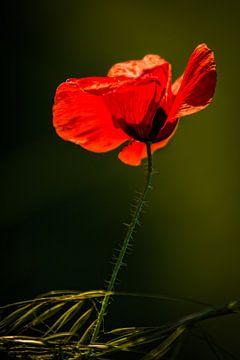 Mohnblume von Frans Scherpenisse