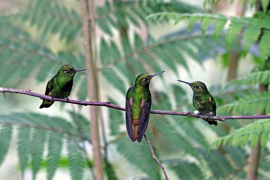 Kolibries