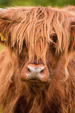 Schotse Hooglander van Samantha Rorijs