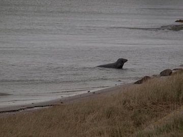 Zeehond in haven van Rinke Velds