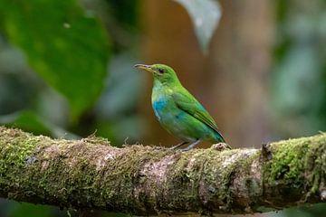 Vogel aus Costa Rica von Merijn Loch