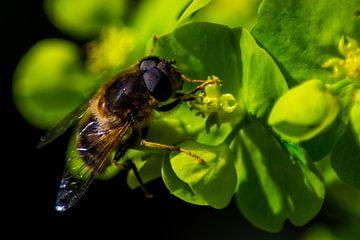 Biene mit Pollen auf Pflanze von Kunstdoorsuus