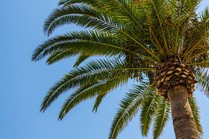Onder de spaanse palmboom
