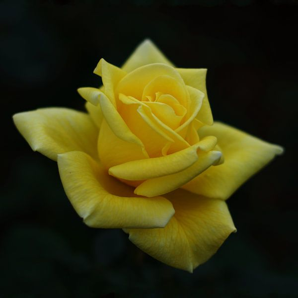 Gele roos van Mike Bing