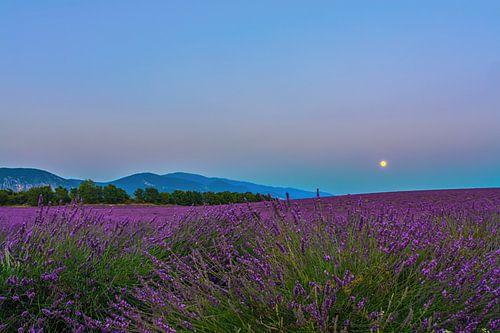 Lavender Moon II