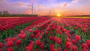 Tulpenveld Noordostpolder in de schemer van