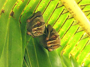 Vleermuizen in Costa Rica van Daphne Wessel