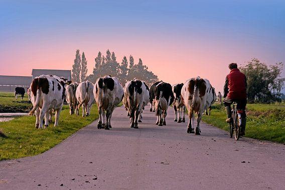 Koeien op weg naar de stal bij zonsondergang op het platteland van Nederland