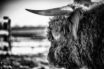 Schotse Hooglander 7 van Jeanien de Gast