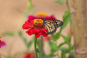 monarch vlinder op een rode gerbera van gea strucks