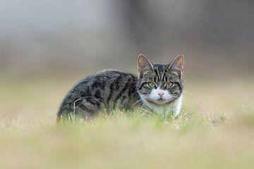 Cat watching you... Domestic Cat *Felis silvestris catus* van