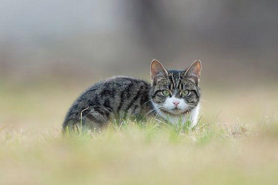 Cat watching you... Domestic Cat *Felis silvestris catus*