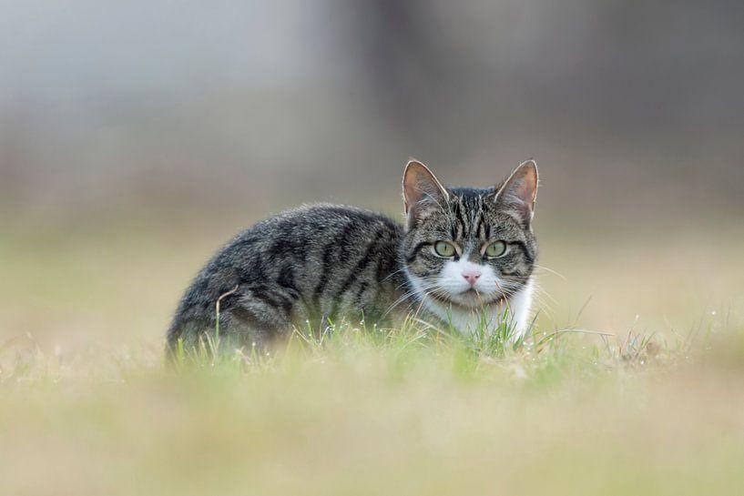 Cat watching you... Domestic Cat *Felis silvestris catus* van wunderbare Erde