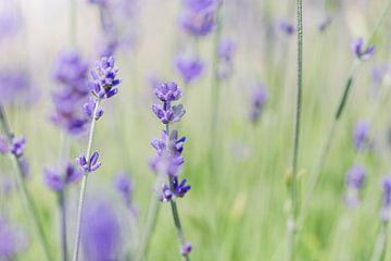 Lavendel im Sonnenlicht von Kristof Ven