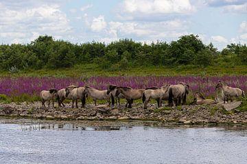 Wilde Konick  pferde am Ufer des Wassers von Kim Willems