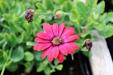 rosa Blume mit Insekt von Joran Keij