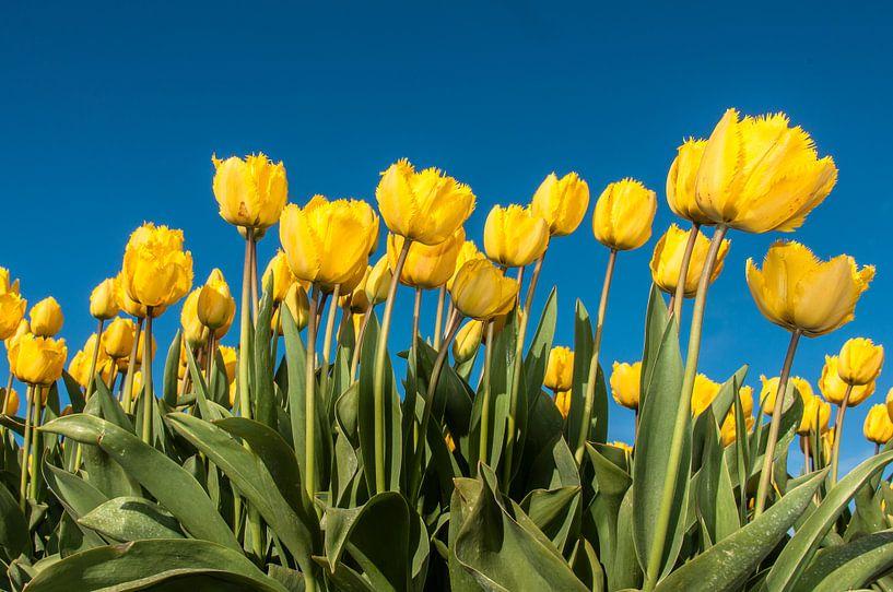 Gele Tulpen van Alex Hiemstra