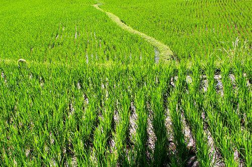 Levenspad in de rijstvelden, Bali