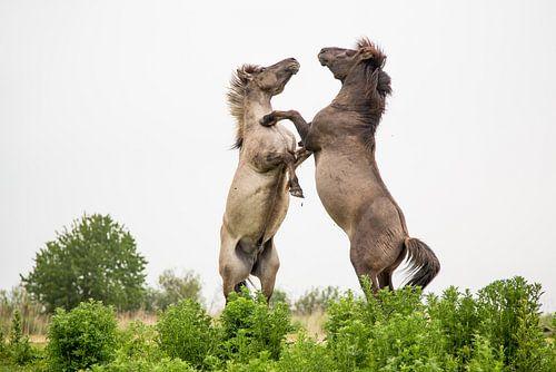 Stijgerende konikpaarden Oostvaardersplassen 1