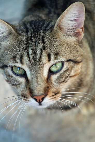 cyperse kat
